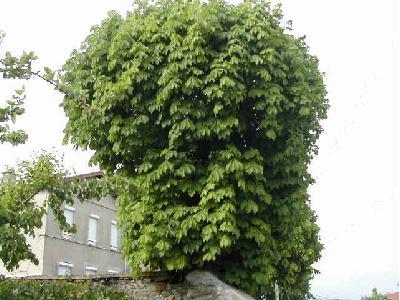 marronnier d 39 inde aesculus hippocastanum les arbres par. Black Bedroom Furniture Sets. Home Design Ideas