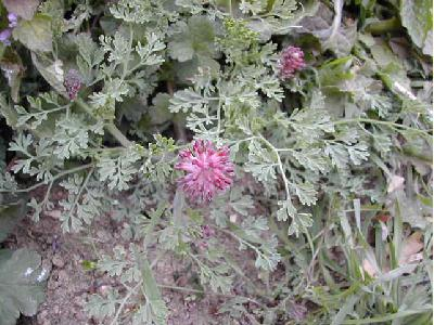 fumeterre officinale fumaria officinalis les plantes herbac es par. Black Bedroom Furniture Sets. Home Design Ideas