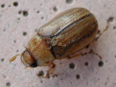 insectes identification par. Black Bedroom Furniture Sets. Home Design Ideas